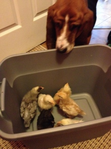 Ranger the basset hound has come to love the chickens....he's a real mother hen