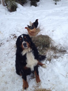 Our current chickens and their guard dog Kimber